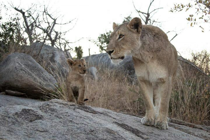 Tsalala Lioness Cubs Lion