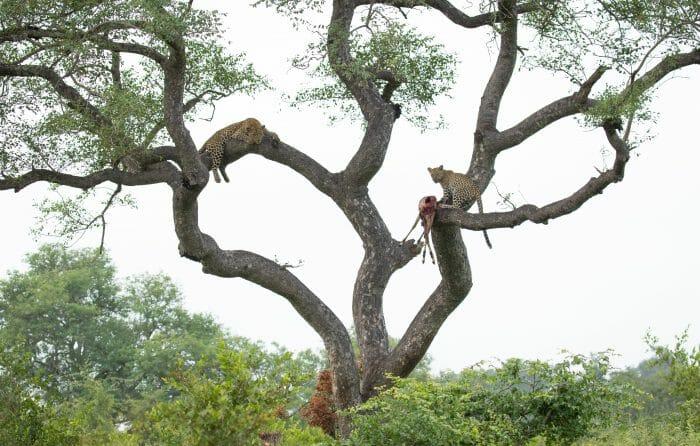 Nkoveni Leopard And Cub Marula 4