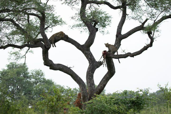 Nkoveni Leopard And Cub Marula