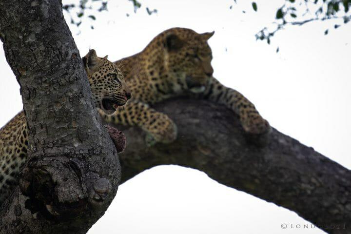 Nkoveni Leopard And Cub Marula Dark