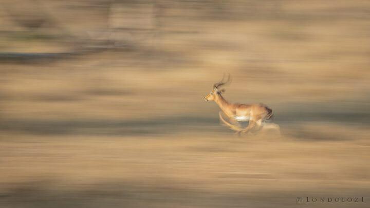 Impala Panning Blur