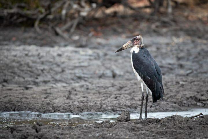 Marabou Stork Bird