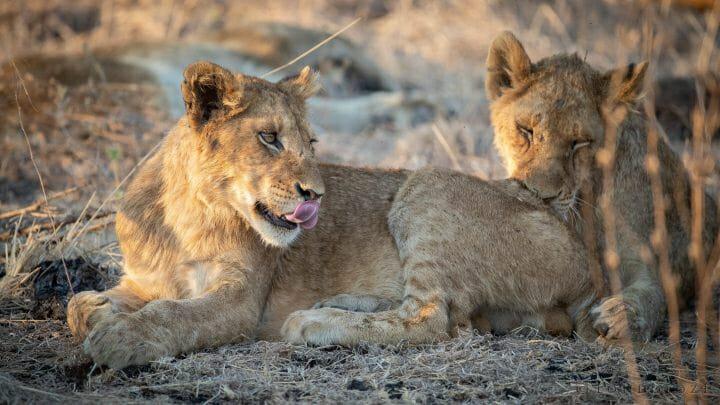 Ntsevu Lion Cub