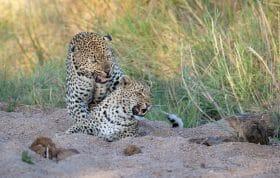 Flat Rock Nhlanguleni Leopard Mate 5