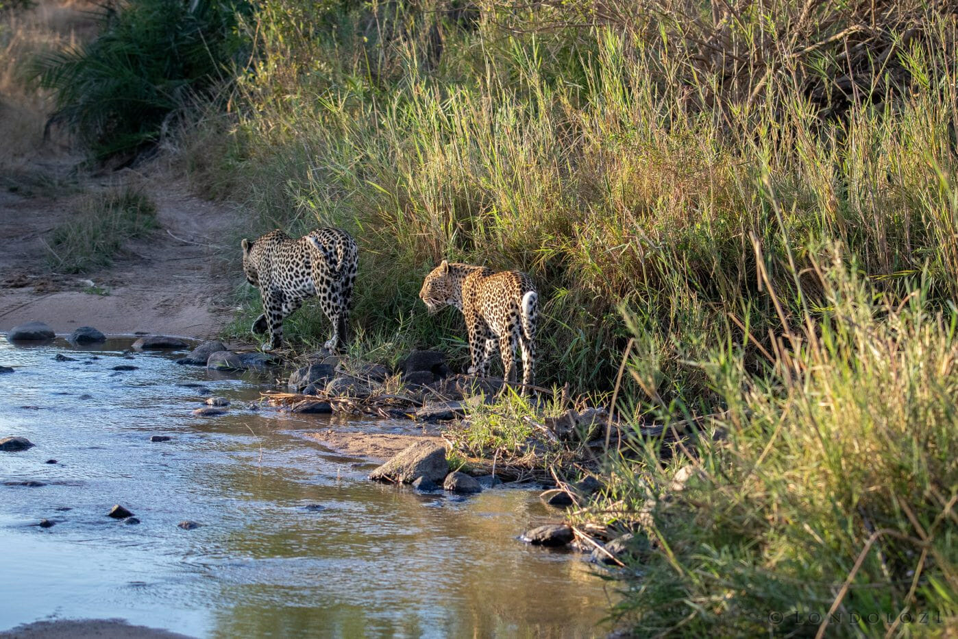 Flat Rock Nhlanguleni Leopard Mate 6
