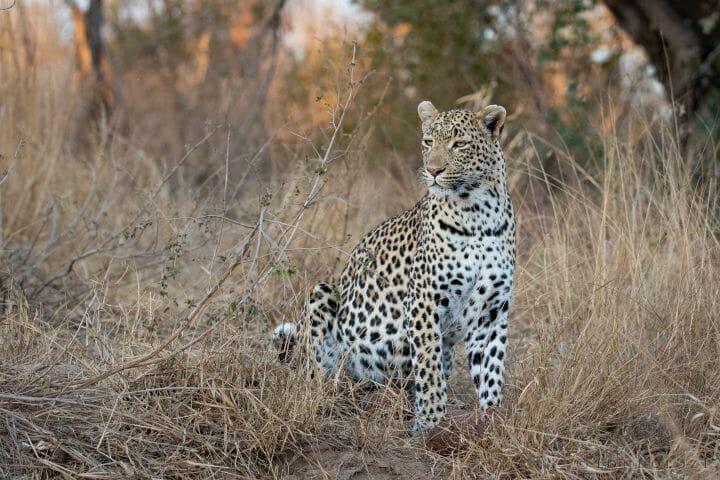 Flat Rock Nhlanguleni Leopard Mate 7