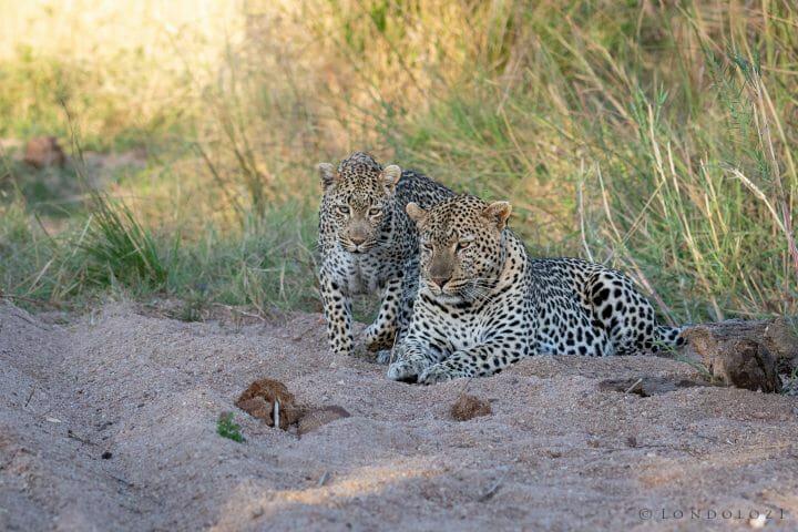 Flat Rock Nhlanguleni Leopard Mate