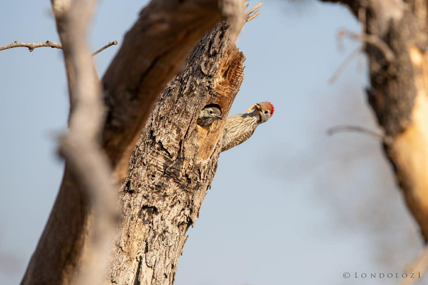 Cardinal Woodpecker 4