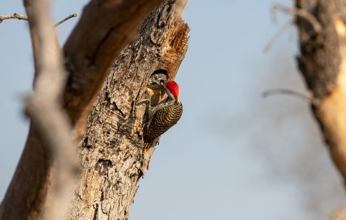 Cardinal Woodpecker 5