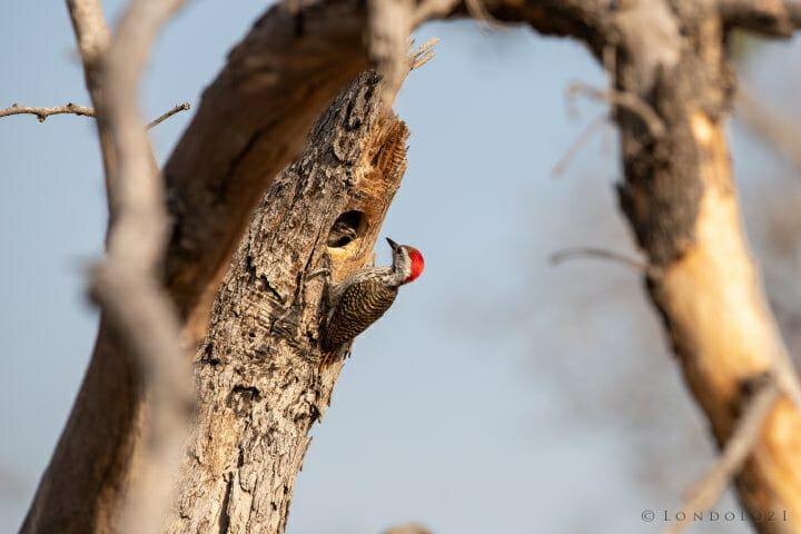 Cardinal Woodpecker 6