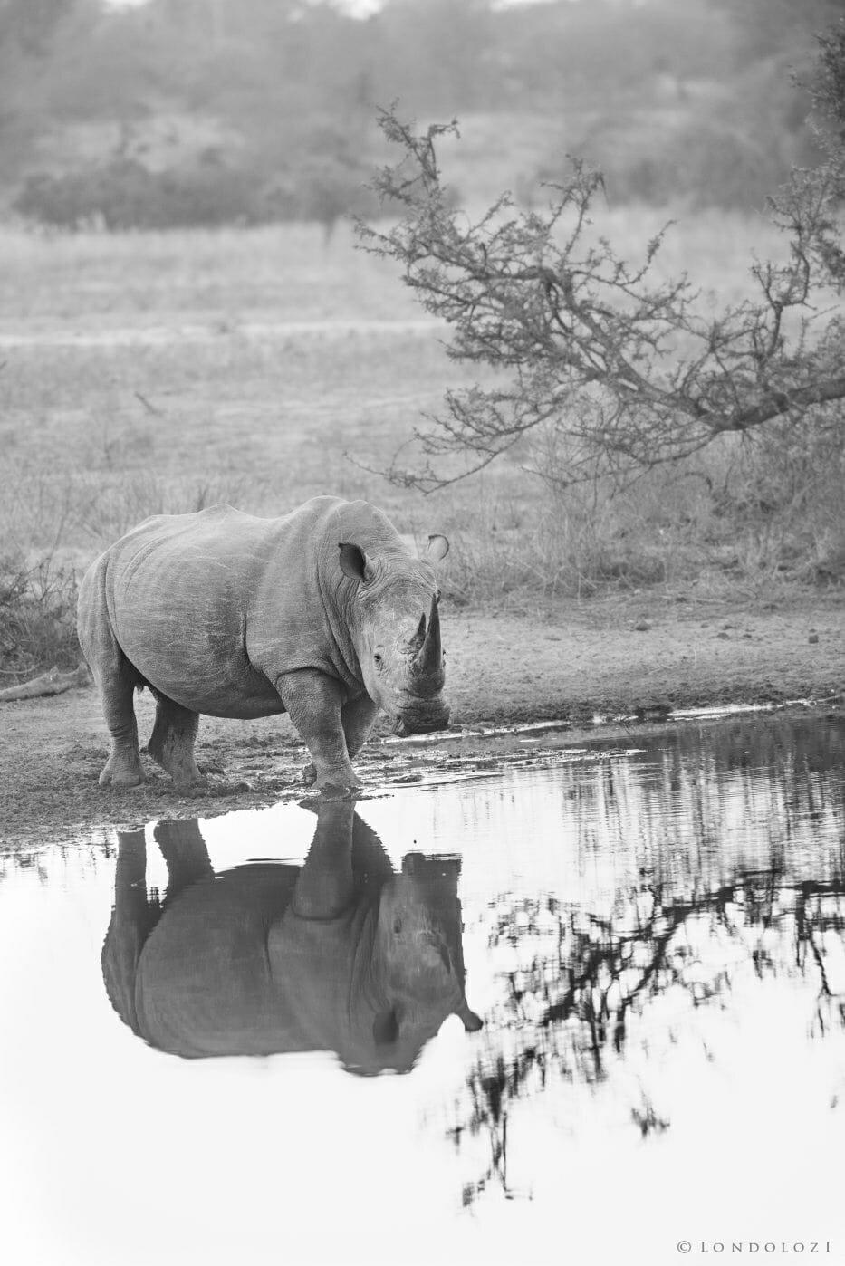 Rhino At Dawn