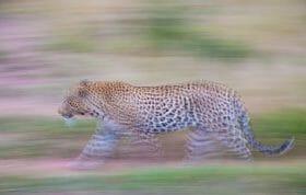Flat Rock Leopard Panning Blur