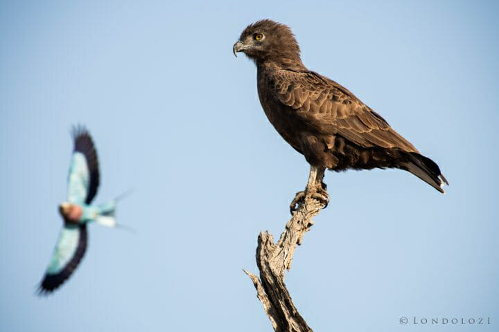 Brown Snake Eagle Jt 600mm 1 800 F8 Iso450 1 Of 1