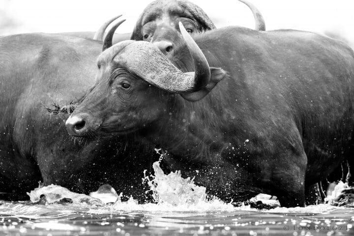 Buffalos In Water Jt300mm 1 2000 F5.6 Iso2500 1 Of 1