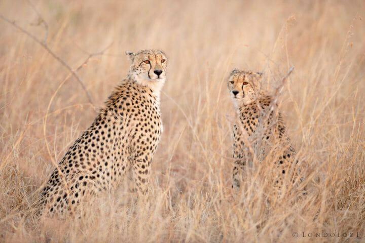 Cheetah Pair Jt 1 640 F4 Iso1800 1 Of 1