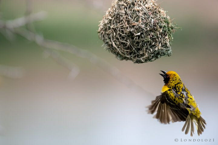 Southern Masked Weaver 2.0 300mm 1 2000 F2.8 Iso1600 1 Of 1