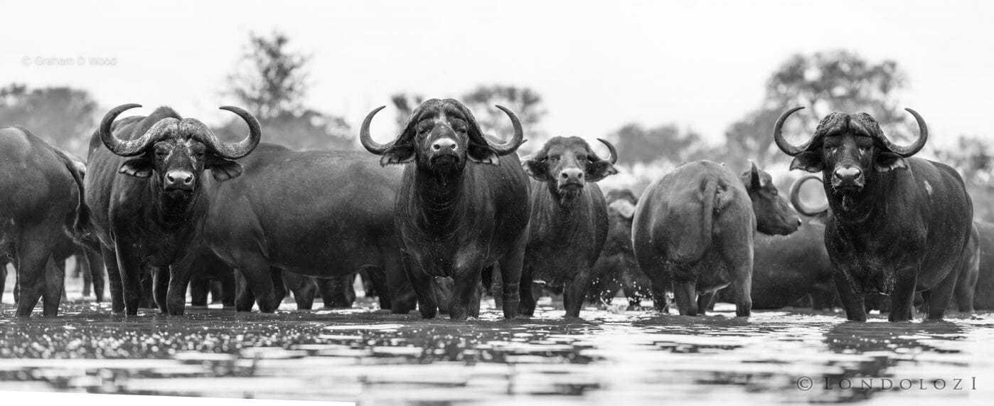 The Large Herd Pano 200mm 1 500 F4 Iso110 1 Of 1