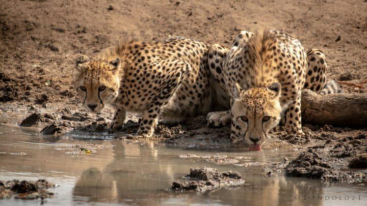 2 Cheetahs Drinking Front1