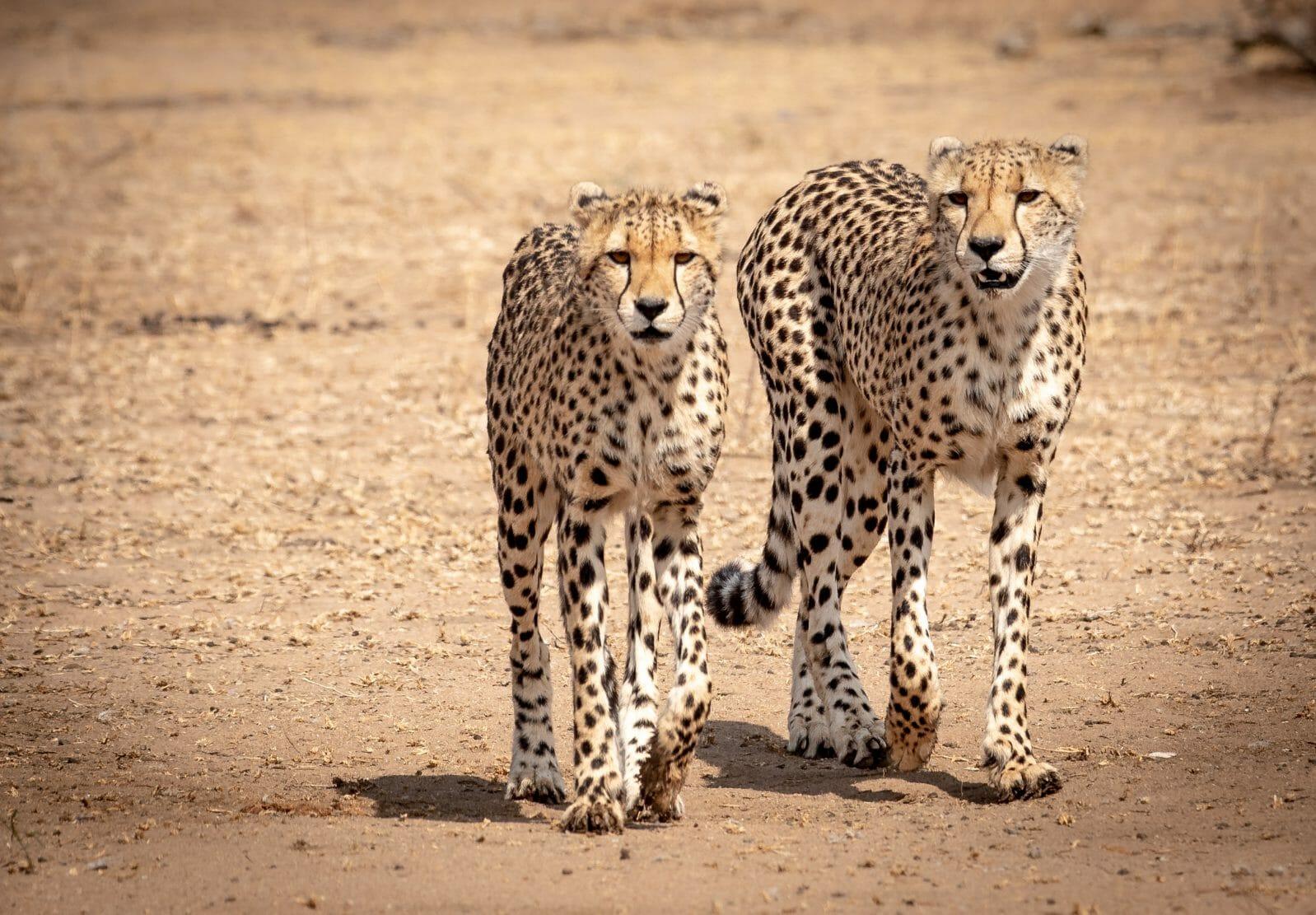2 Cheetahs Walking Front1