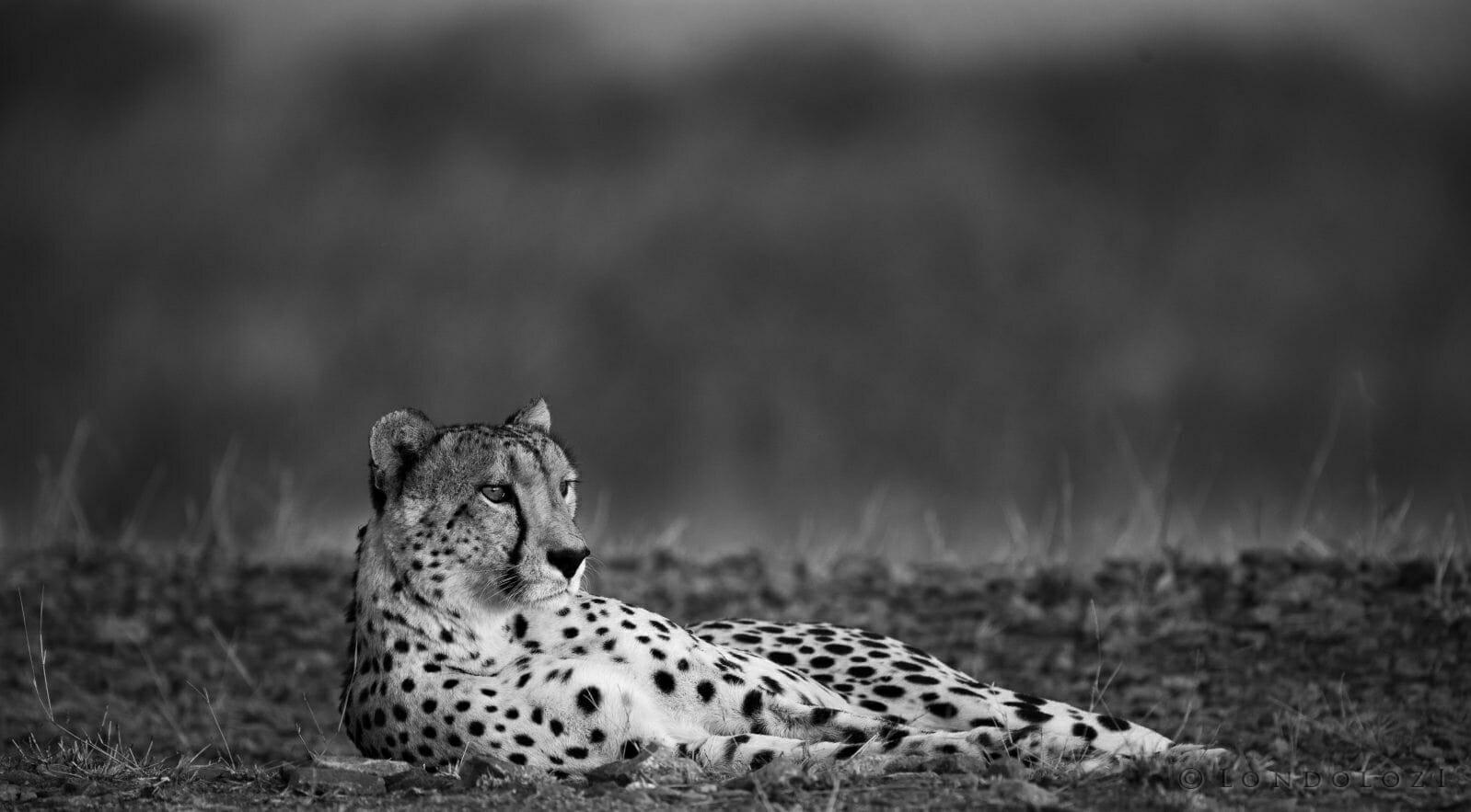Bnw Cheetah Lying Railway 2 Face1