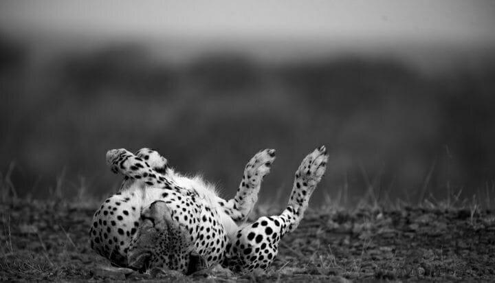 Bnw Cheetah Lying Railway Roll1