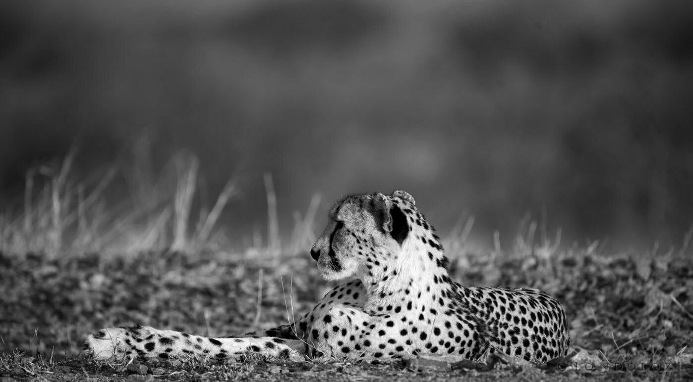 Bnw Cheetah Lying Railway1