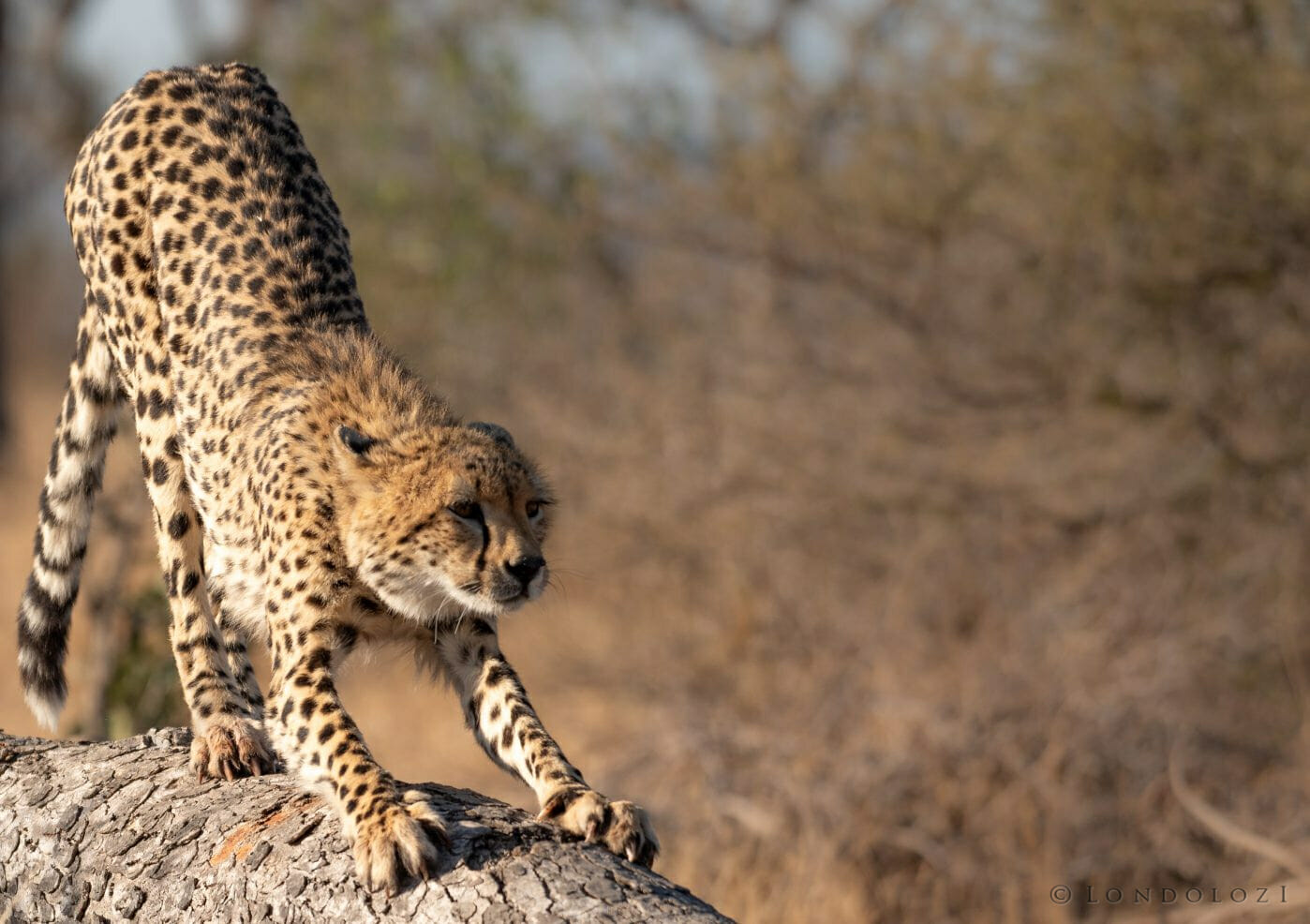 Cheetah Stretches1