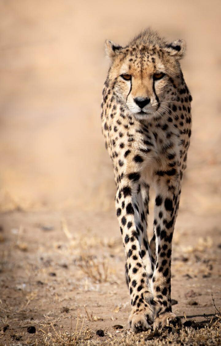 Cheetah Walking Single1