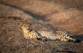 Railway Cheetah Lie1