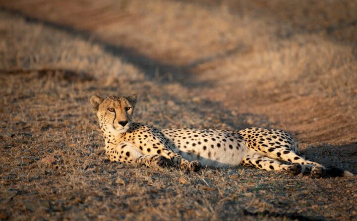 Railway Cheetah Lie1