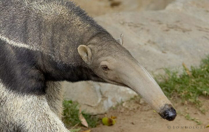 Giant Anteater Adult 0