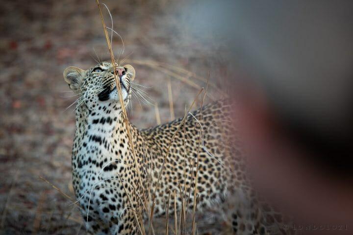 Nhlanguleni Young Leopard