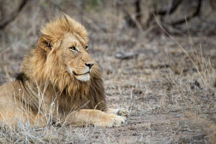 Othawa Lion