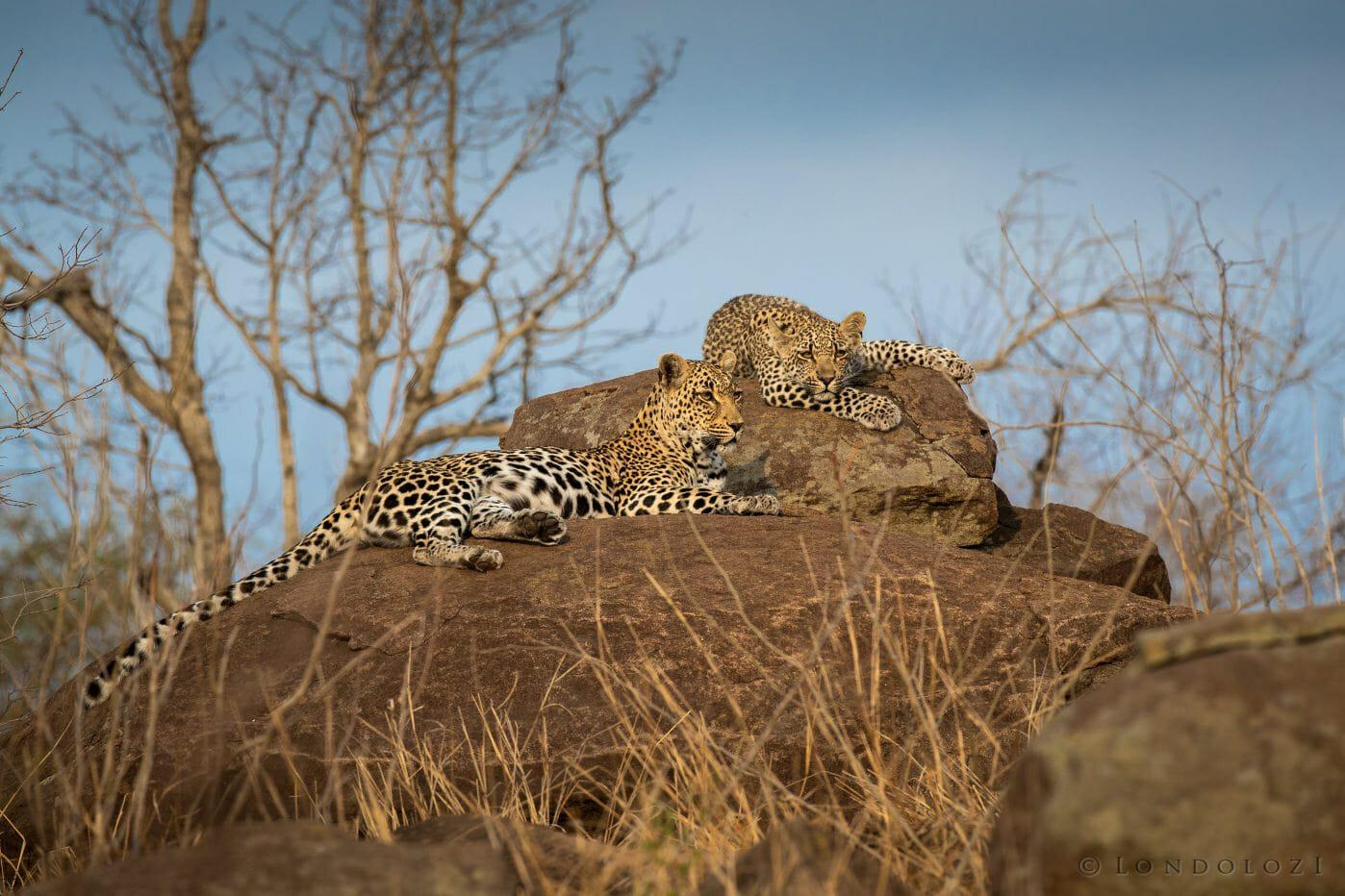 Tatowa Leopard Cub