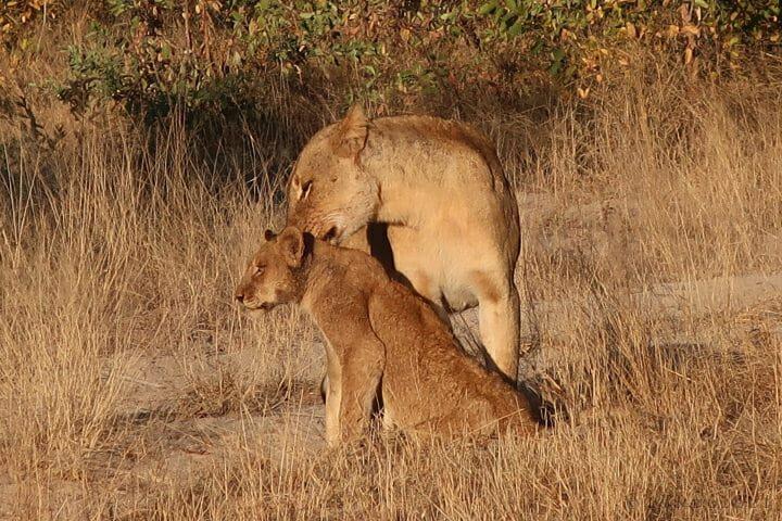 Gg Lions