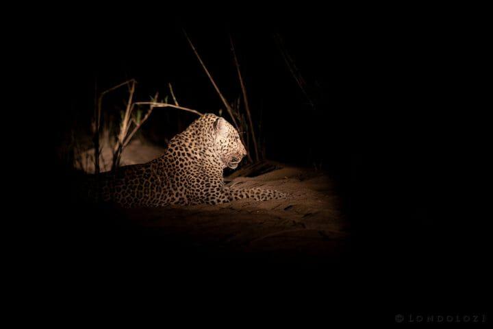 Anderson Leopard Spotlight
