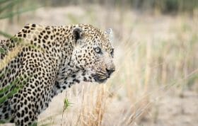 Anderson Male Leopard 4