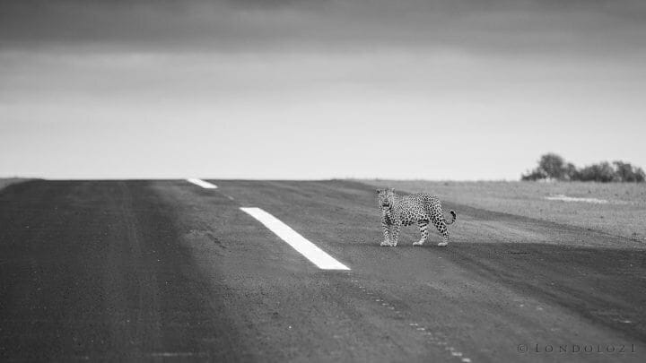 Inyathini Airstrip Leopard
