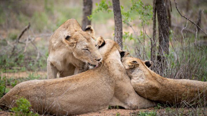 Lions Groom