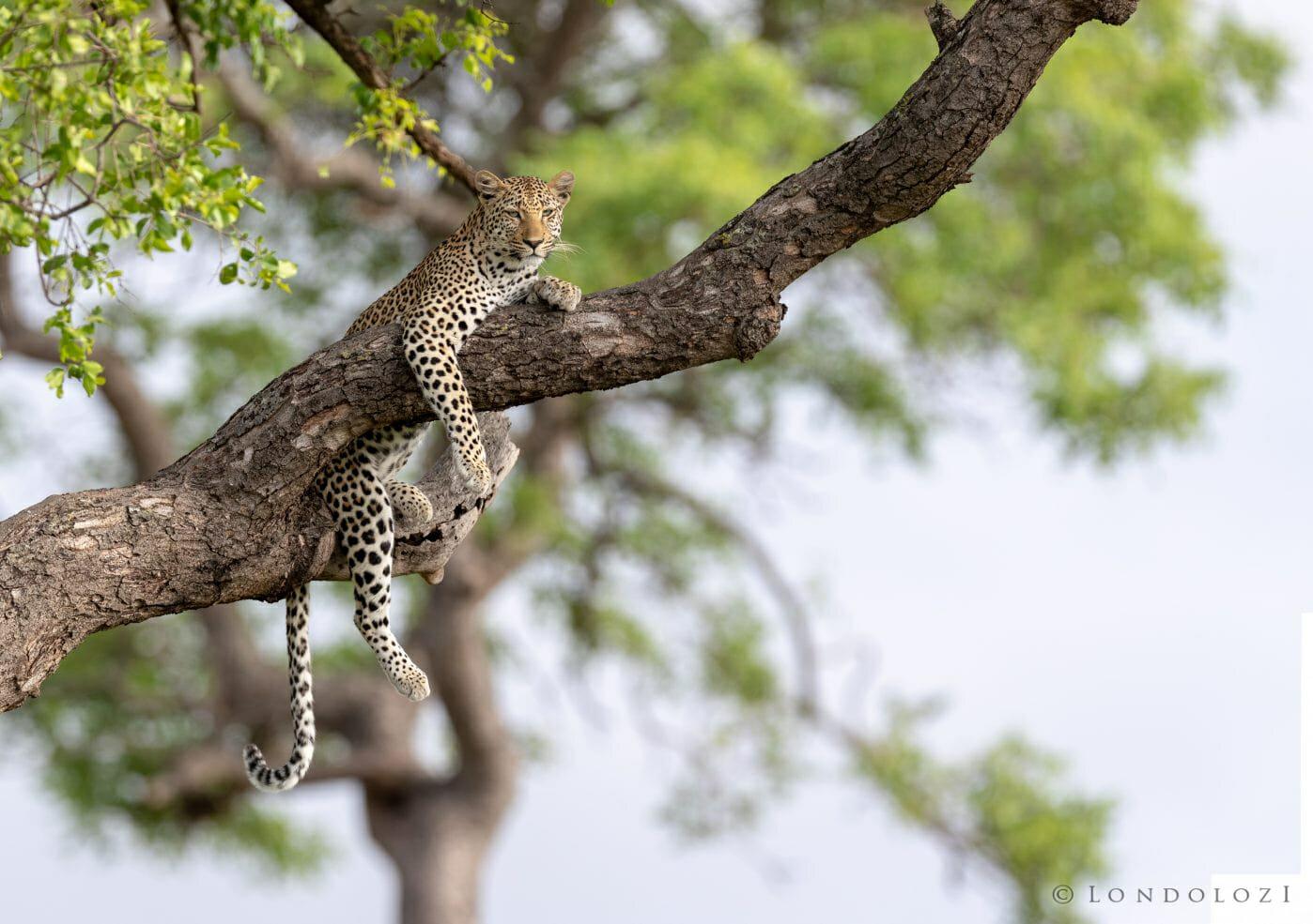 Saseka Leopard Marula Tree