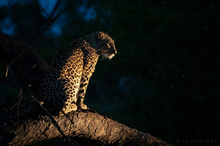 Ximungwe Leopard Spotlight