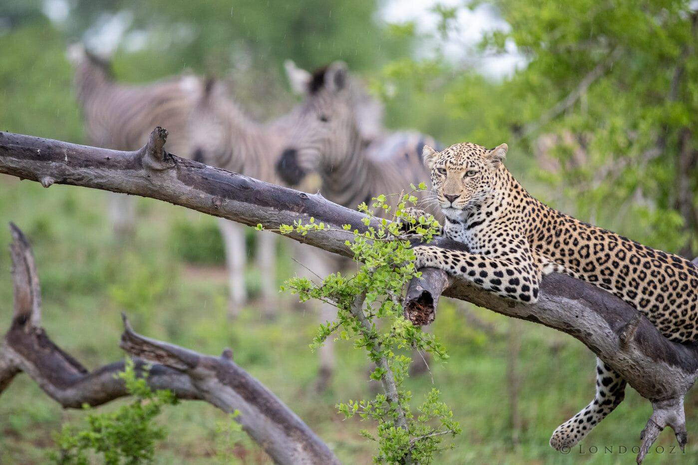 Ximungwe Leopard Zebra