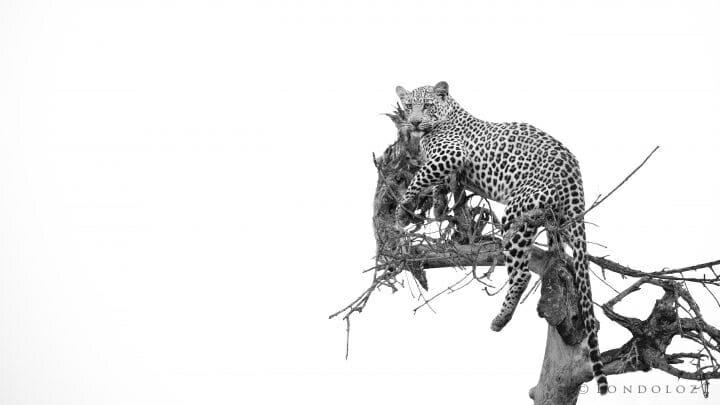 Ximungwe Male Leopard