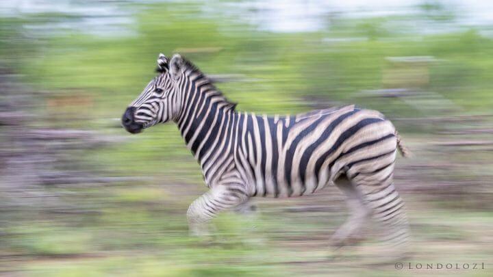 Zebra Run Panning Blur