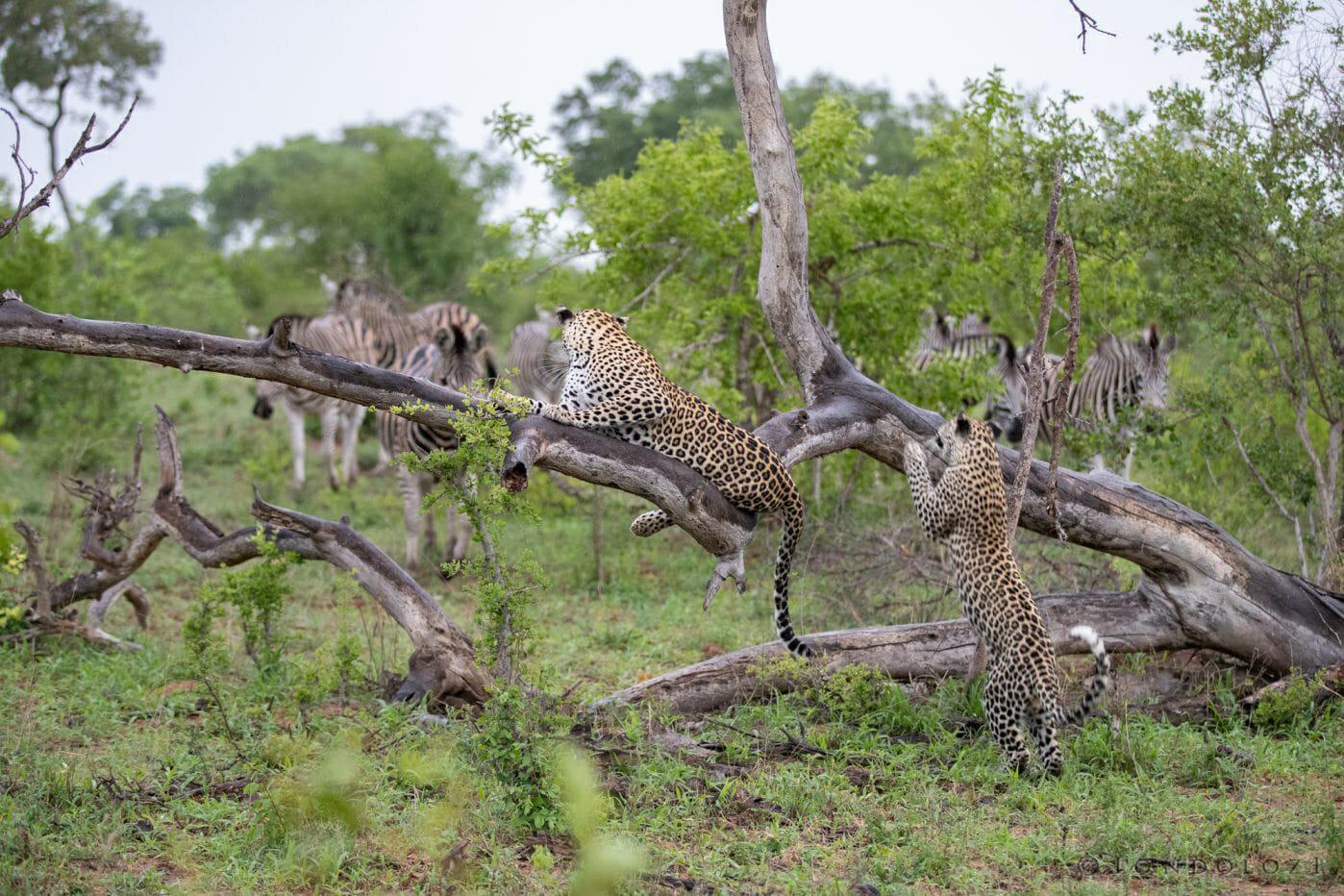 Ximungwe Leopard Tree 2 2
