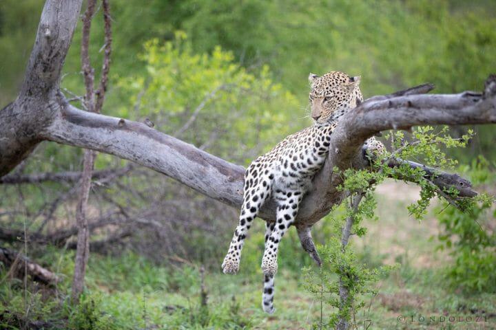 Ximungwe Leopard Tree 2 4