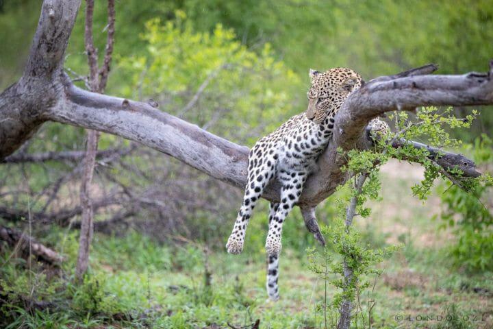 Ximungwe Leopard Tree 2 5