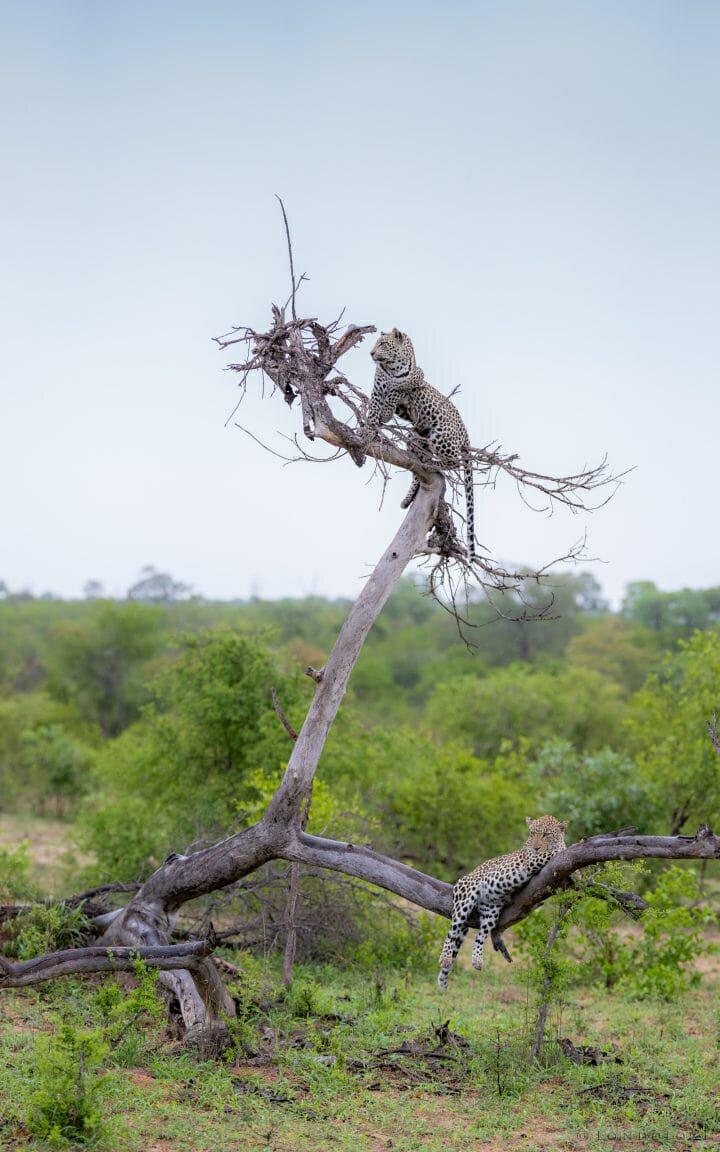 Ximungwe Leopard Tree 2 6
