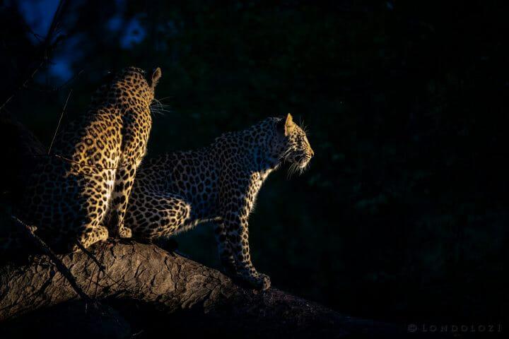 Ximungwe Leopard Backlight Rain Spotlight 2