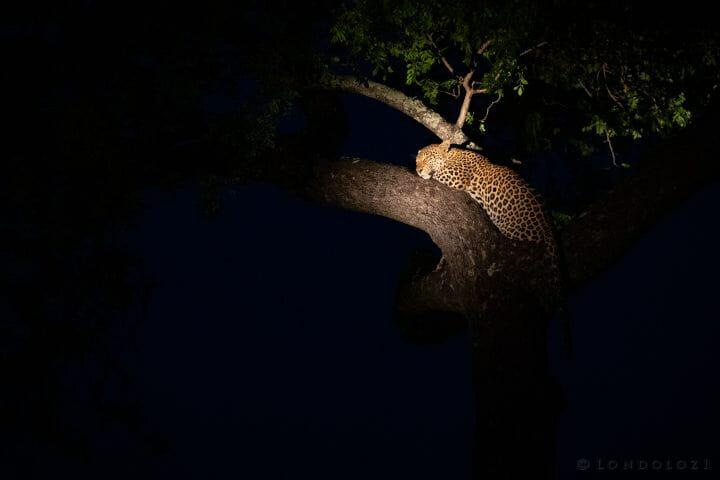 Ximungwe Leopard Rain Spotlight Marula